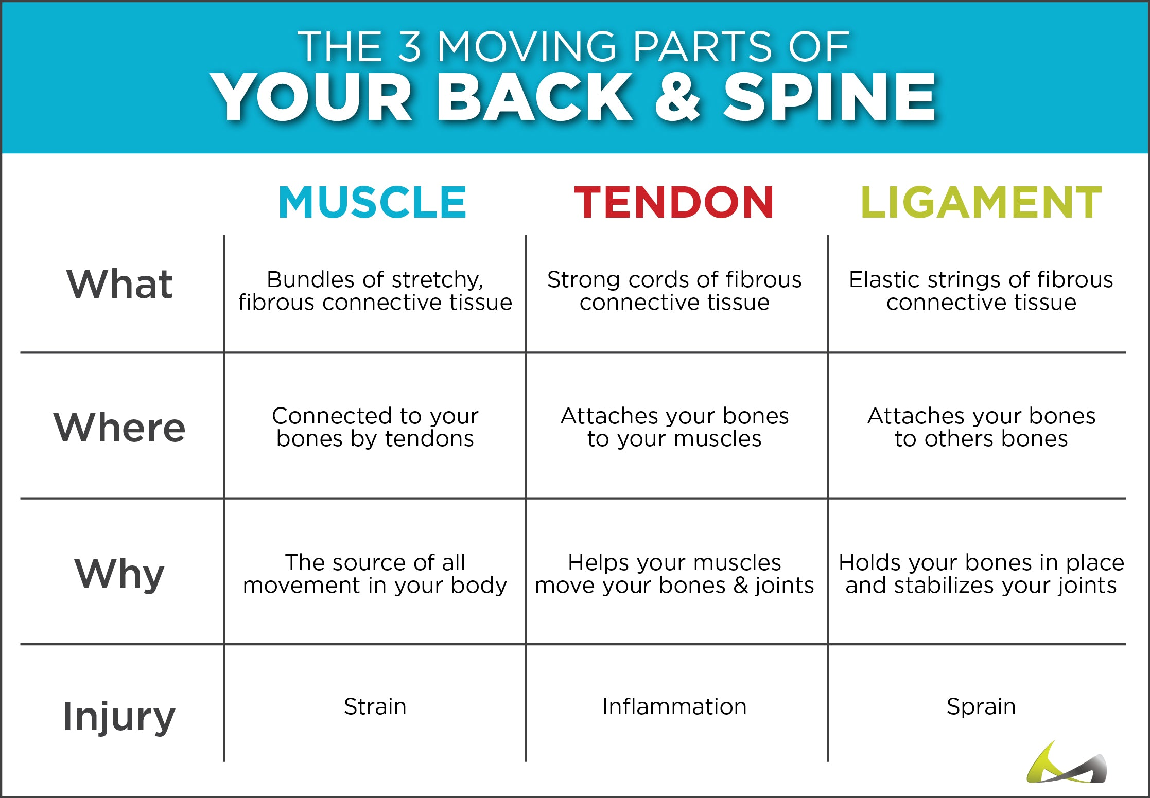 infographic on how your muscles, tendons and ligaments control how your back and spine work