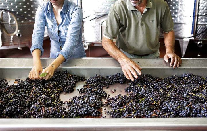 People sorting grapes