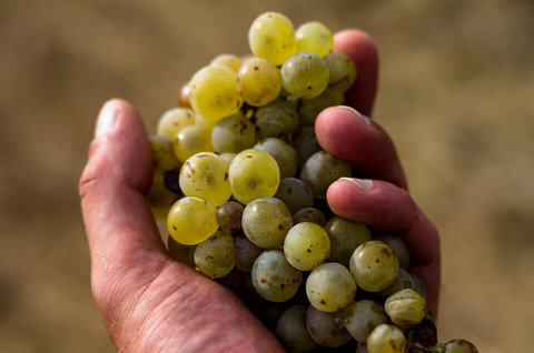 Grapes from Domaine Mamaruta