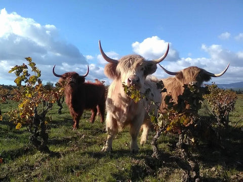 Highland Cows in Natural Wine Vineyard