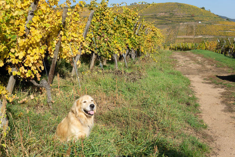 Norman the Wine Dog Chilling in Alsace