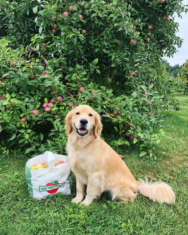 dog apple picking