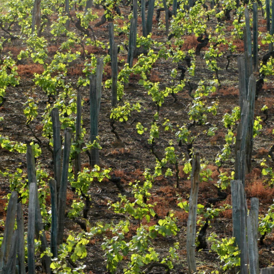 dominio-del-urogallo-vineyard