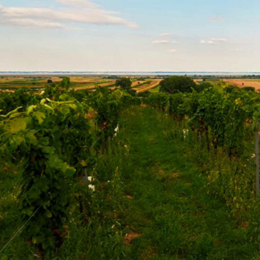 gut-oggau-vineyard
