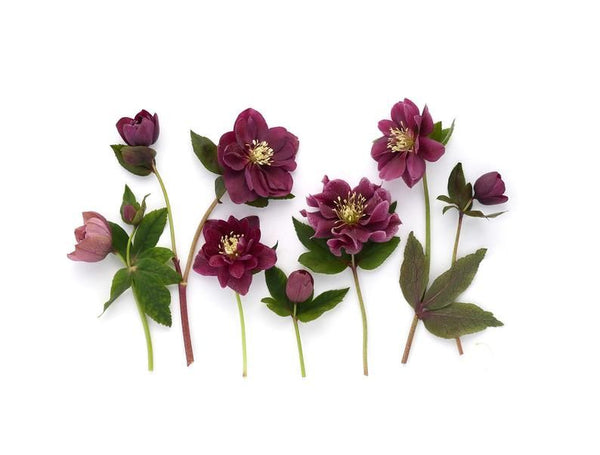 Hellebores Botanical Art Greeting Card