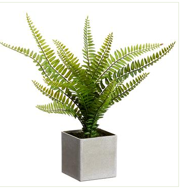 "12"" Boston Fern"