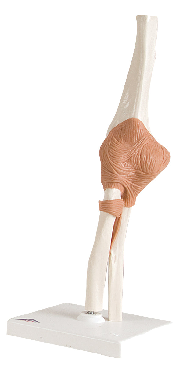 Anatomical Model - functional elbow joint