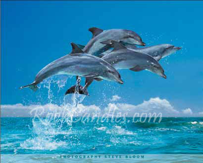 Four Dolphins Poster