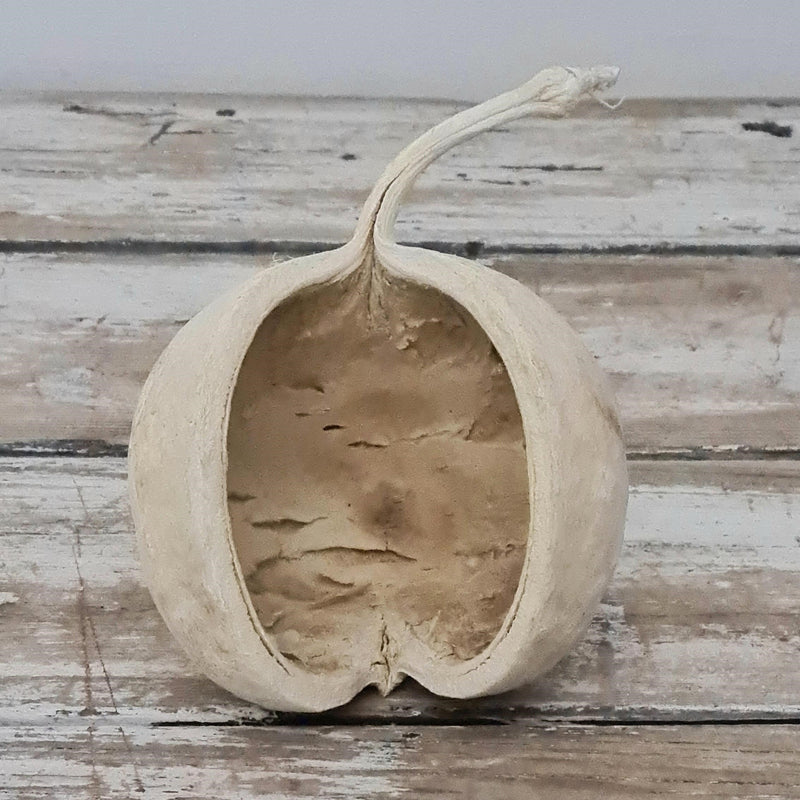 Dried Bleached Buddha Nut