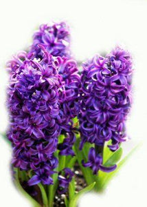 Hyacinth Absolute 5ml