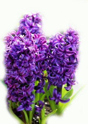 Hyacinth Absolute 5% in Grapeseed 10ml