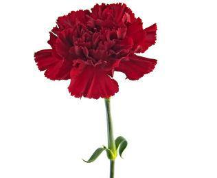 Carnation Absolute 5% in Grapeseed 10ml