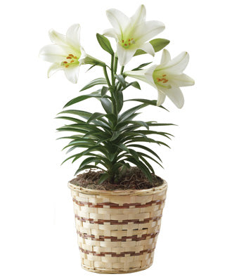 White Lily Plant