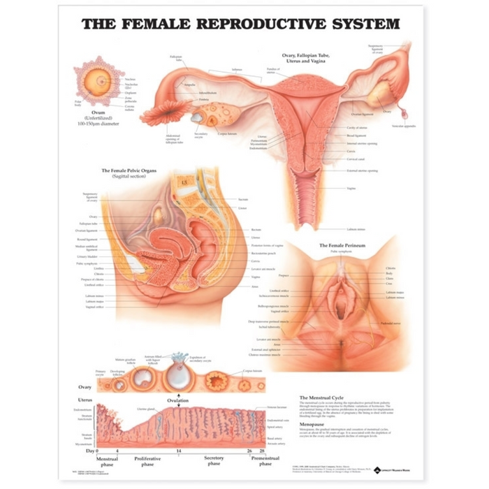 The Female Reproductive System Anatomical Chart
