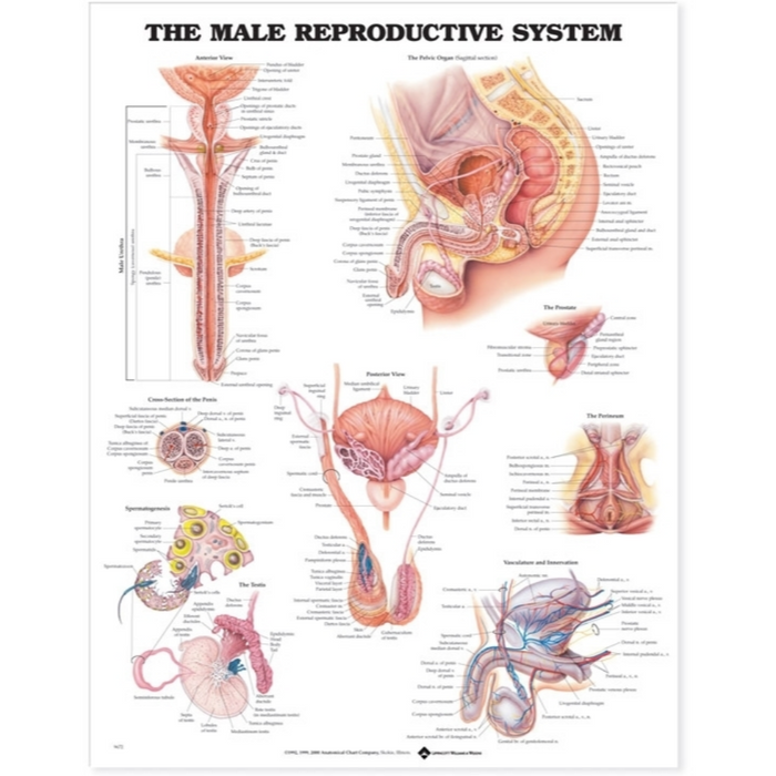 The Male Reproductive System Anatomical Chart