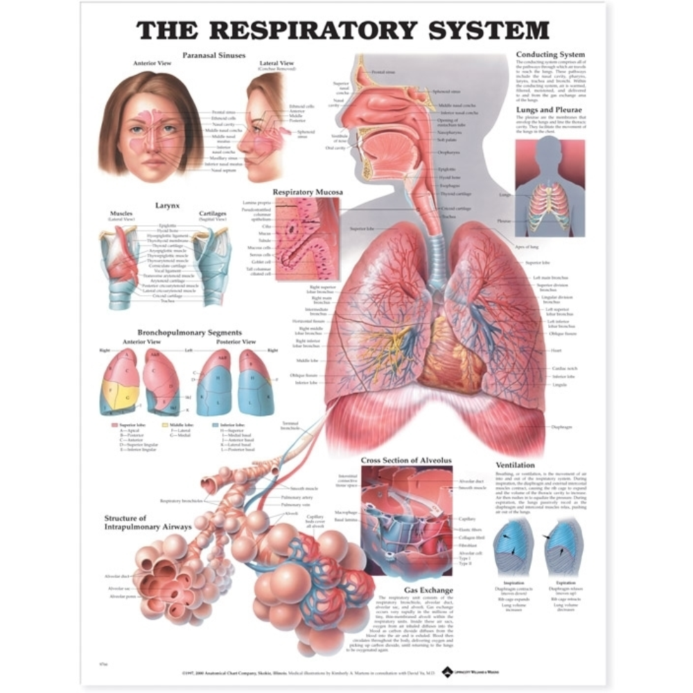 The Respiratory System Anatomical Chart