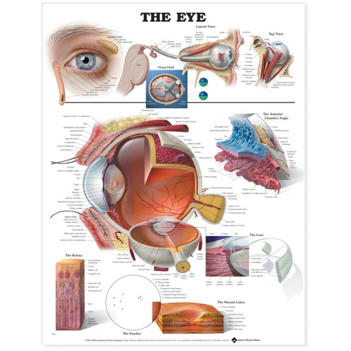 The Eye Anatomical Chart