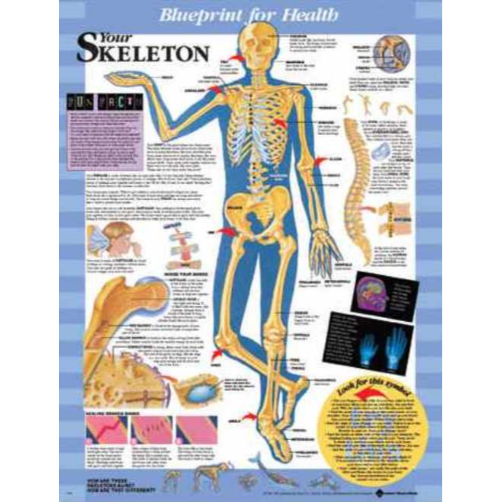 Blueprint for Health Your Skeleton Chart