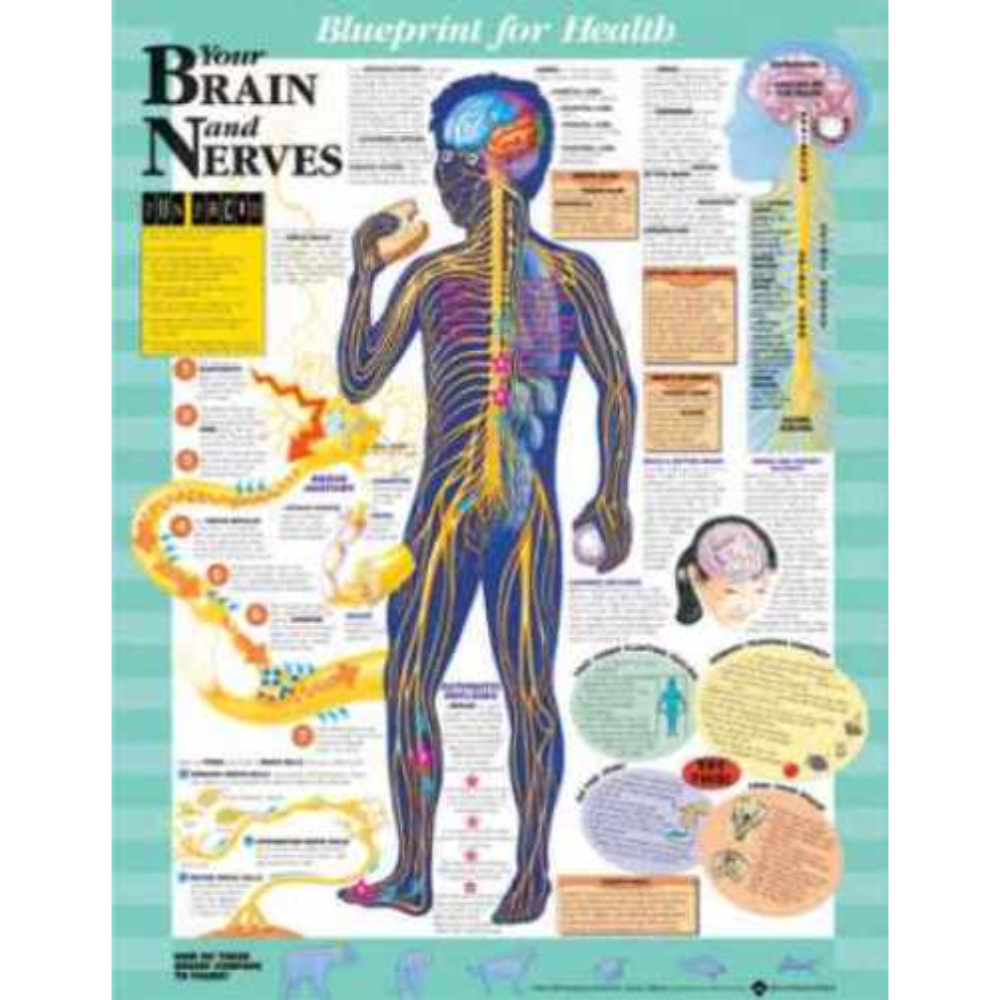 Blueprint for Health Your Brain and Nerves Chart