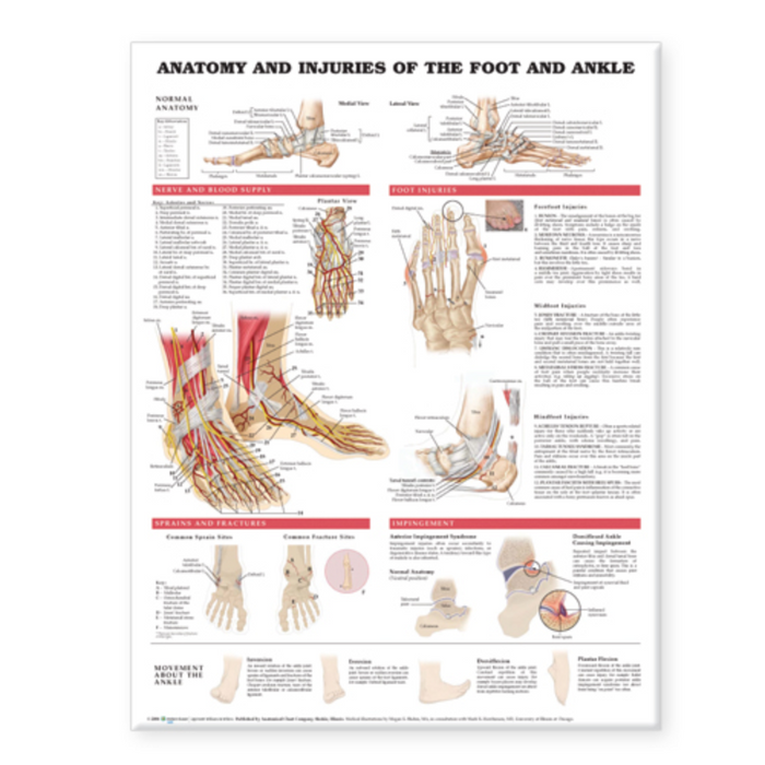 Anatomy and Injuries of the Foot and Ankle