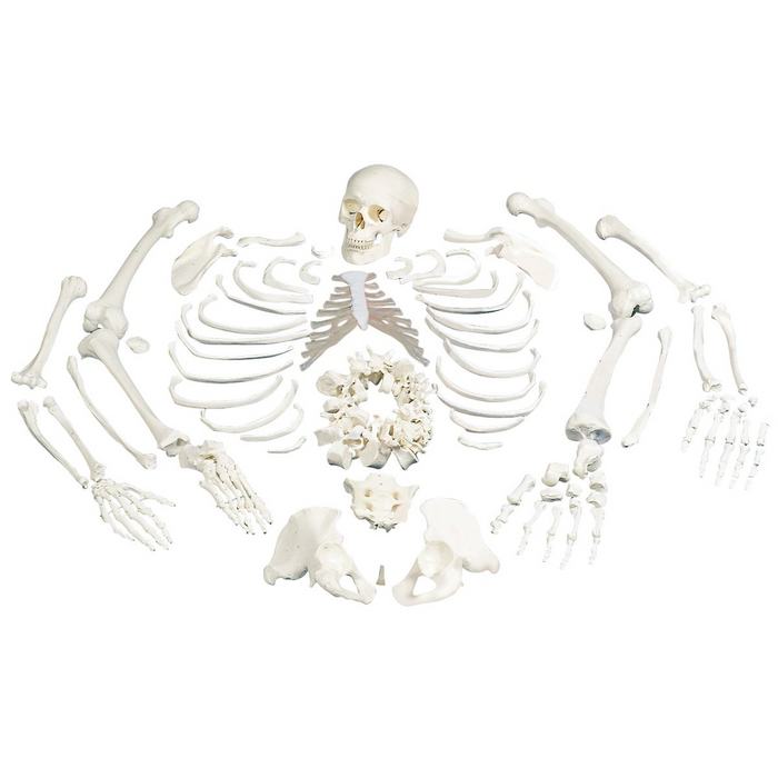 Full Disarticulated Budget Skeleton With Skull