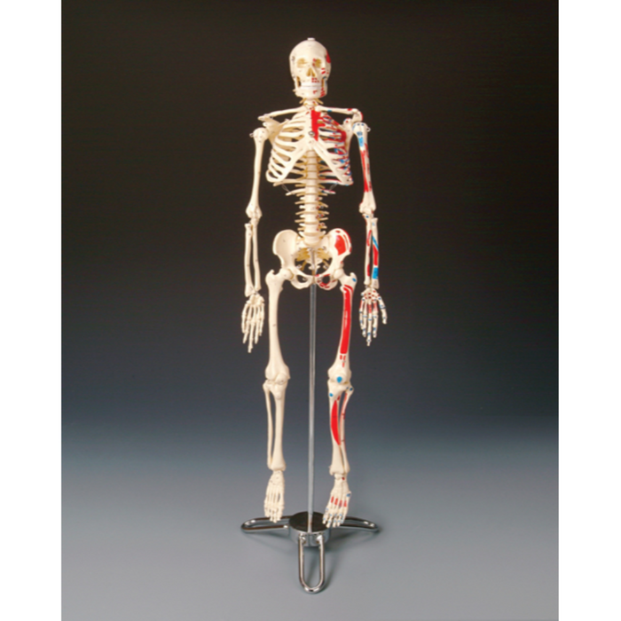 Painted Big Tim Skeleton