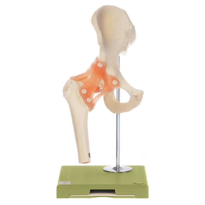 Functional Model of the Hip Joint