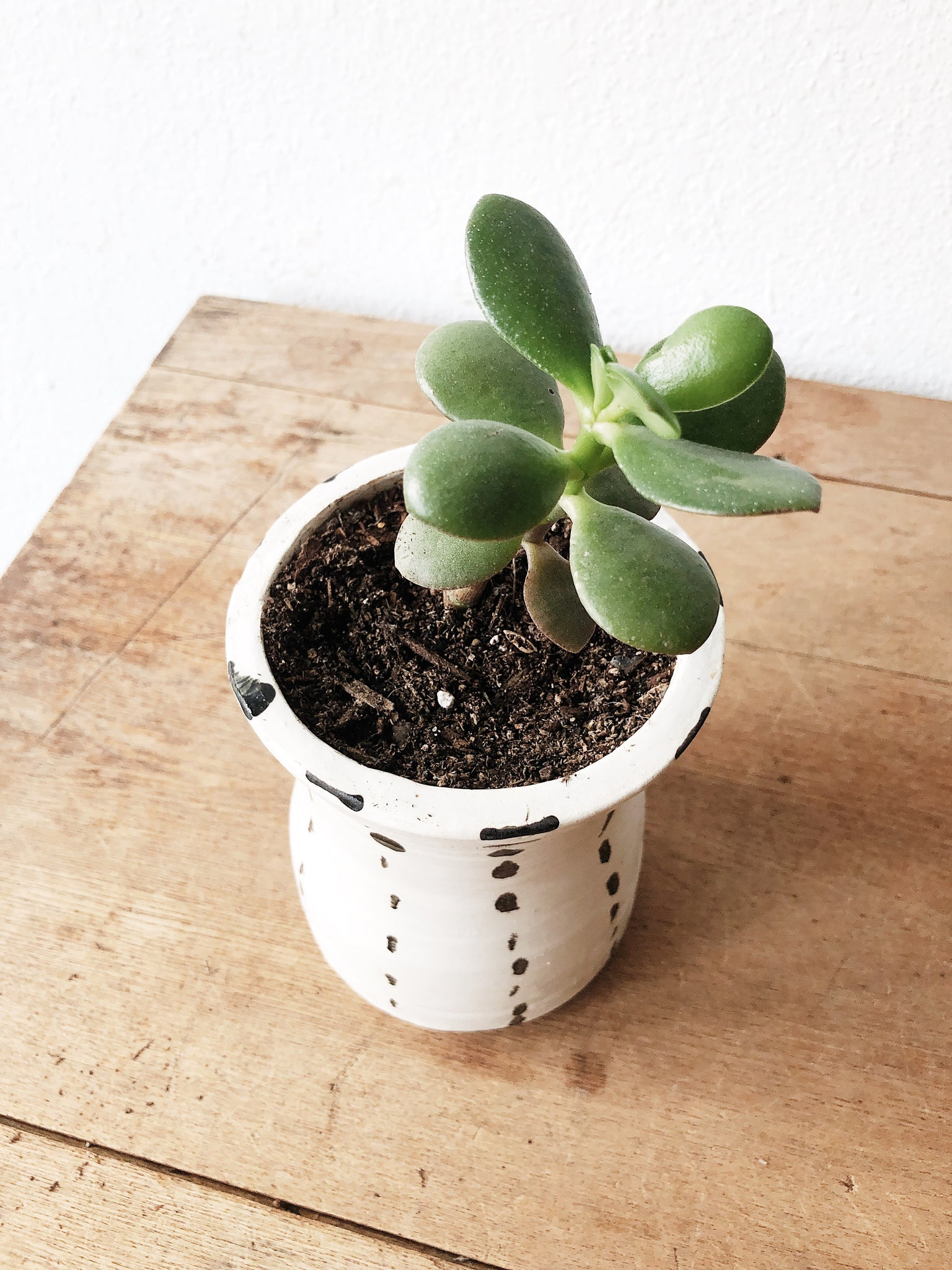 Crassula in Handmade Pottery