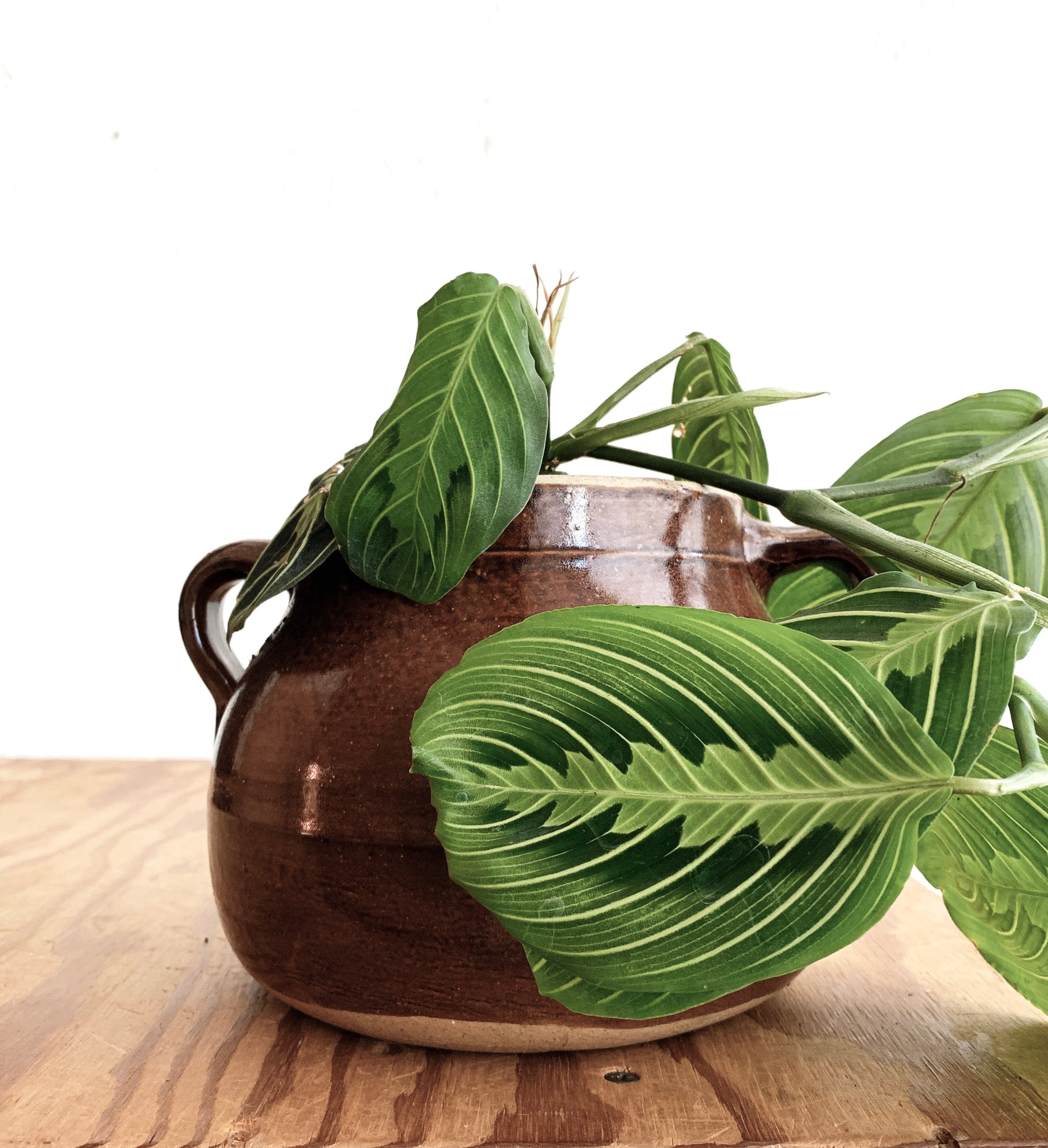 Potted Maranta (Prayer Plant) in Vintage Crock