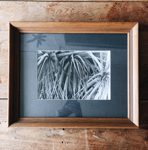 Vintage Original Photo of Agave