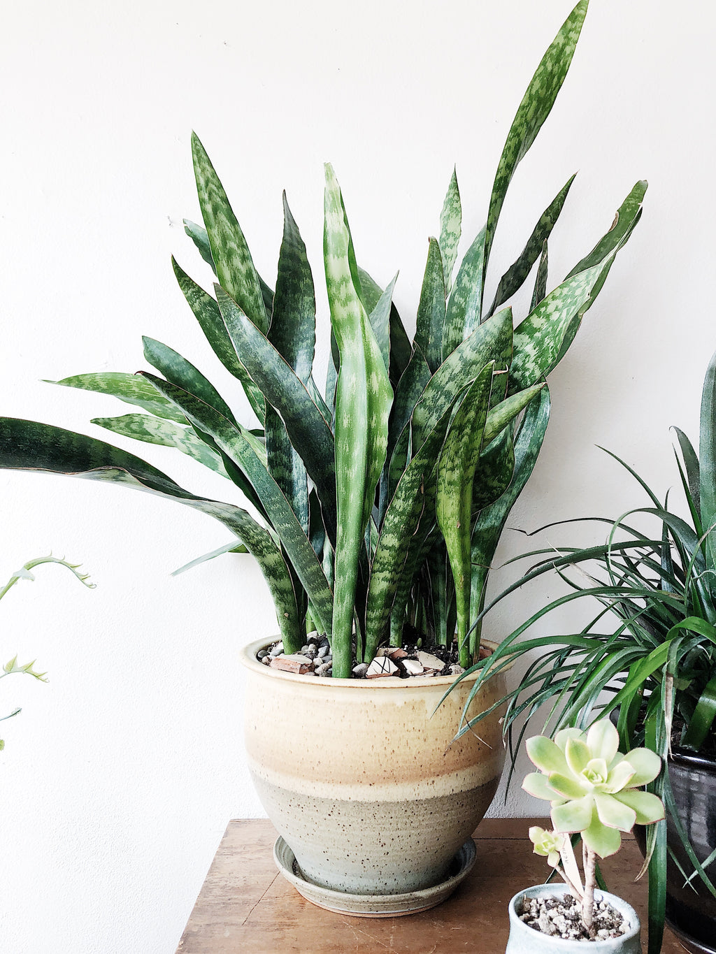 Large Potted Sanseveria Plant