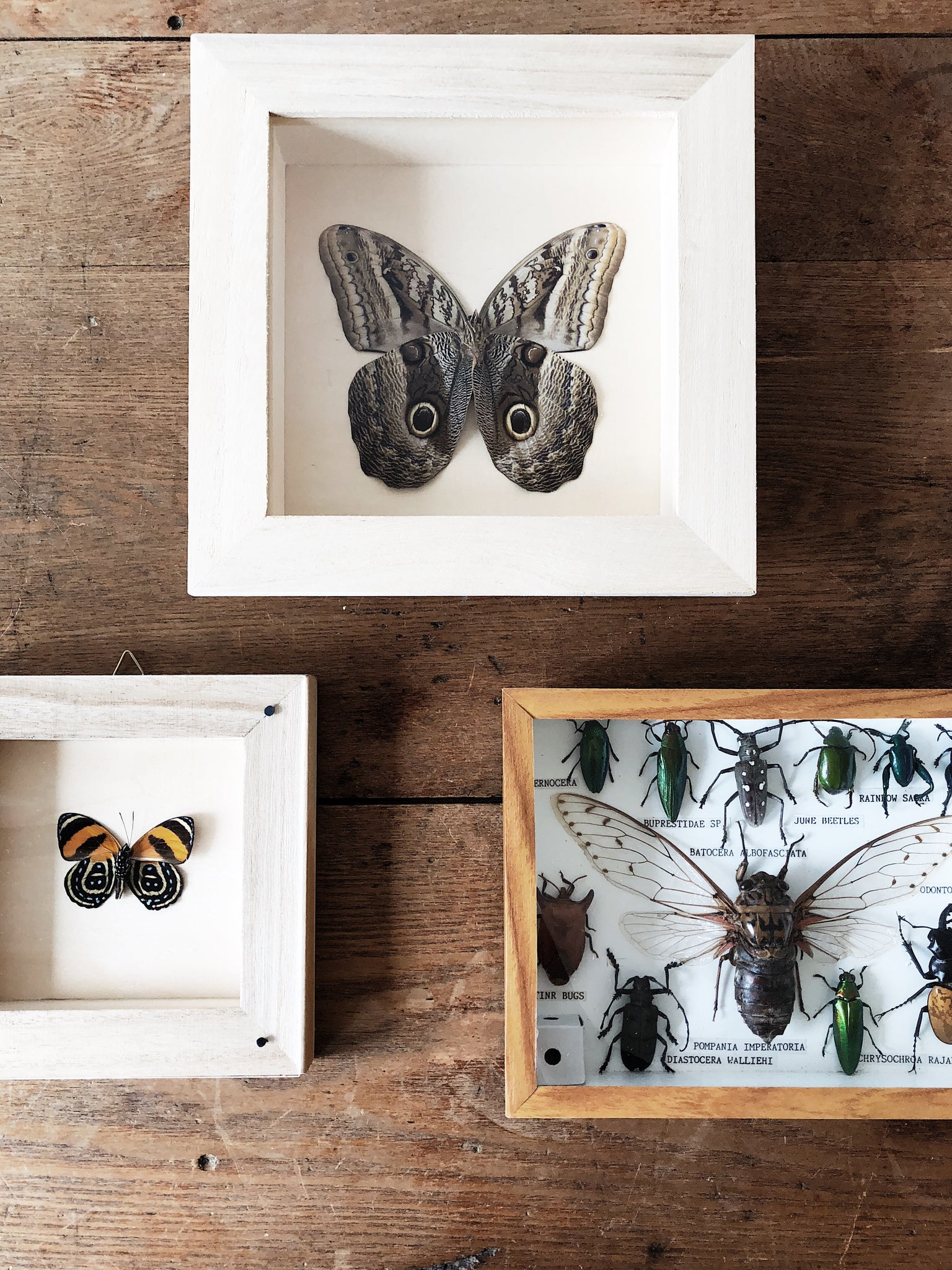 Vintage Butterfly Specimen Display