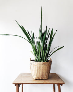 Mature Sanseveria in Basket Planter