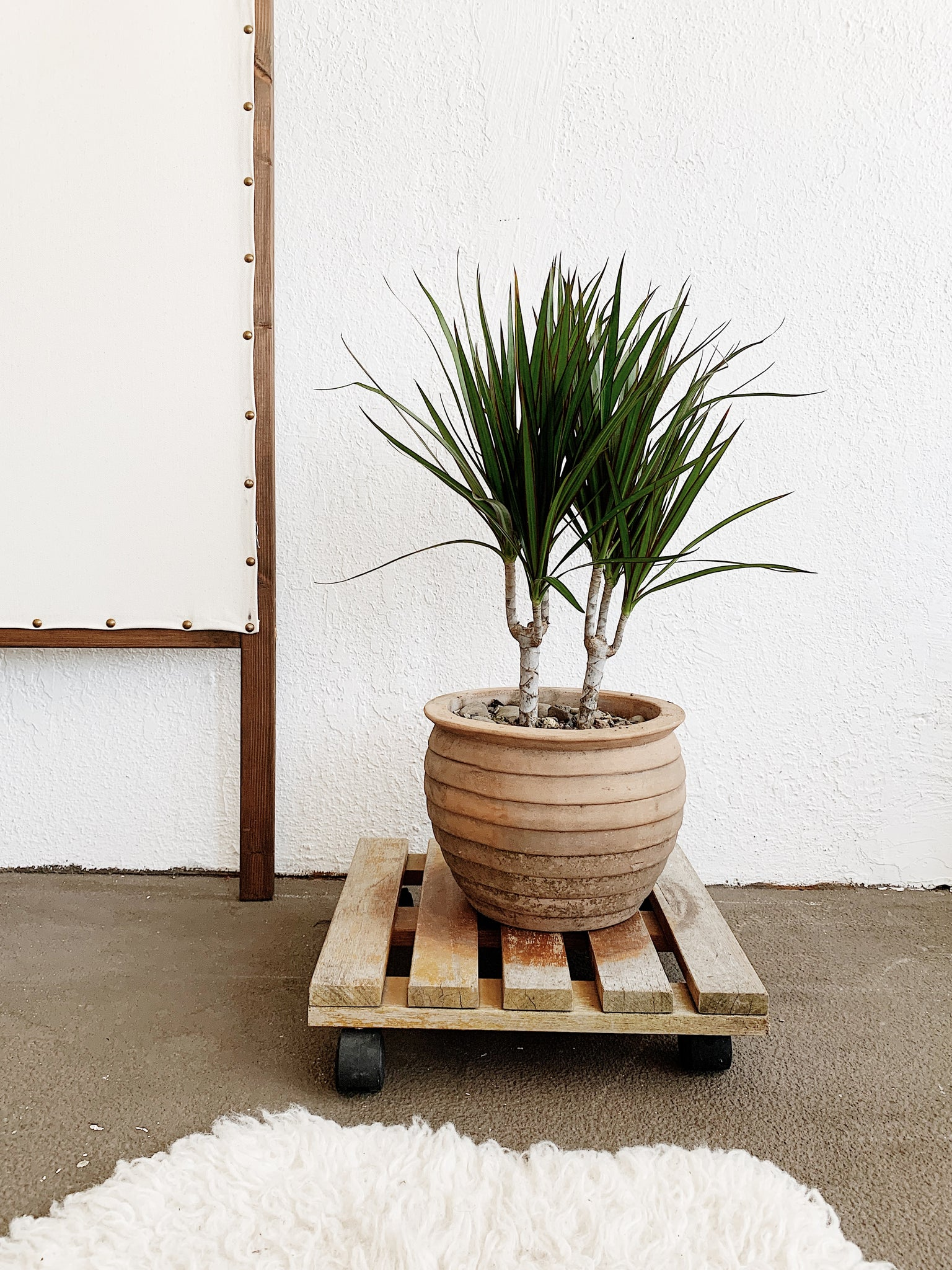 Mid Sized Potted Dracaena