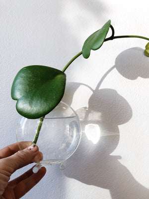 Glass Windowsill Propagation Vase