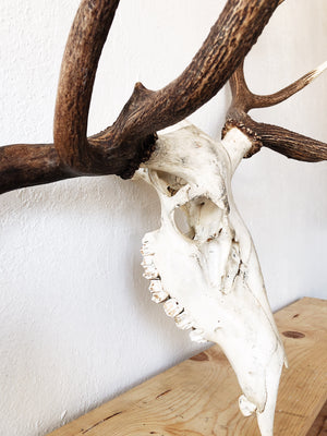 Giant Found Skull with Rack