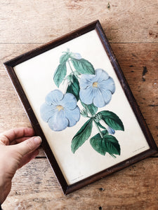 Antique Hand Colored Botanical Plate