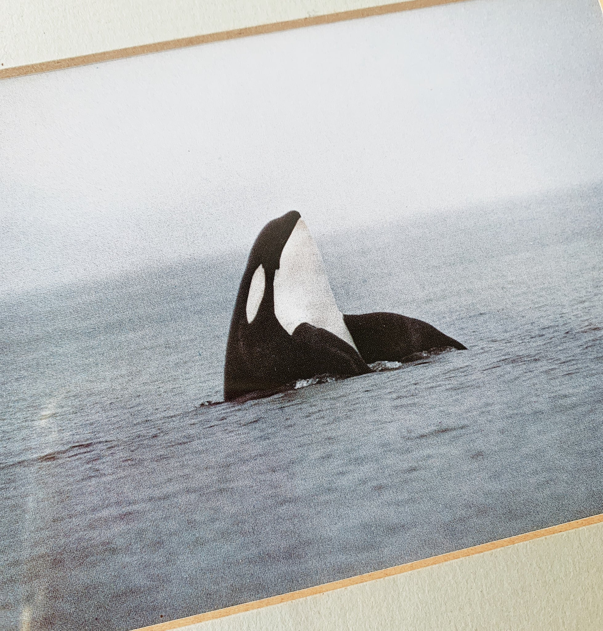 Framed Orca Photograph