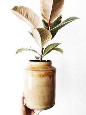 Ficus Elastica in Old Pottery Crock