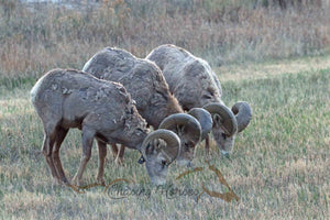 Big Horn Sheep 2 Print