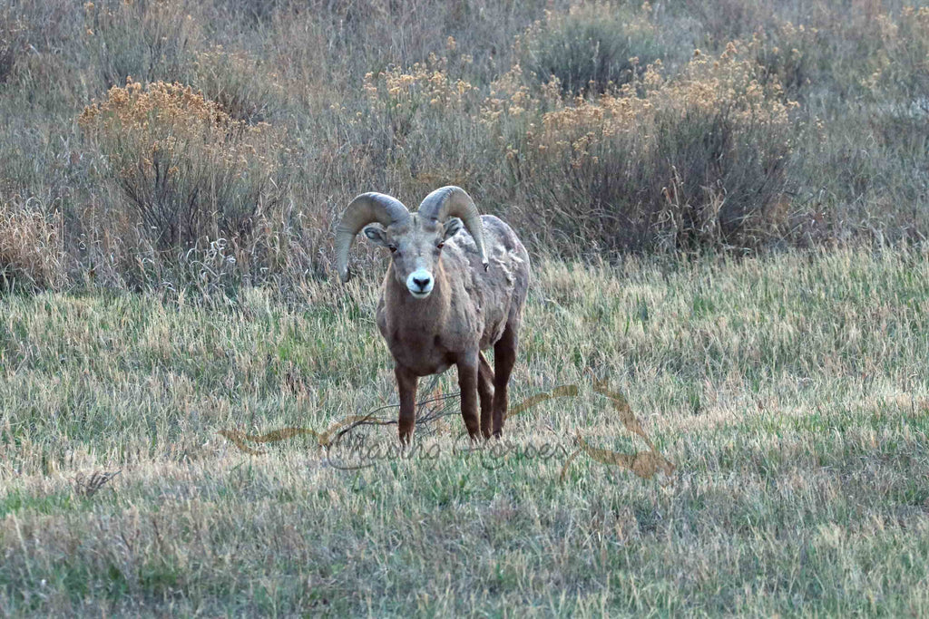 Big Horn Sheep Print