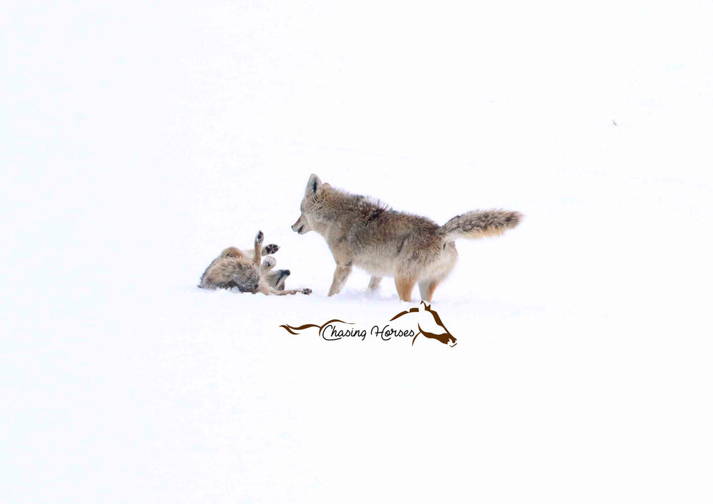 Coyotes in the snow 8x10 print