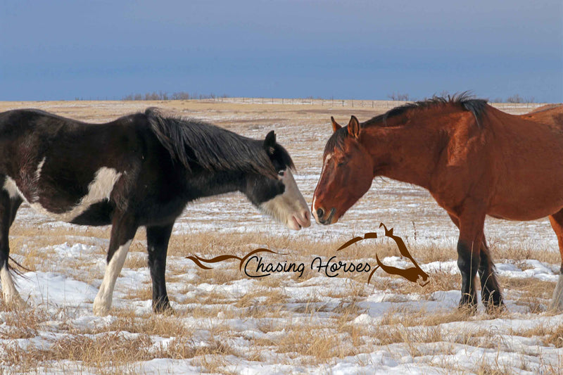 Stallion Copper & Mare Daisy 8x10 print