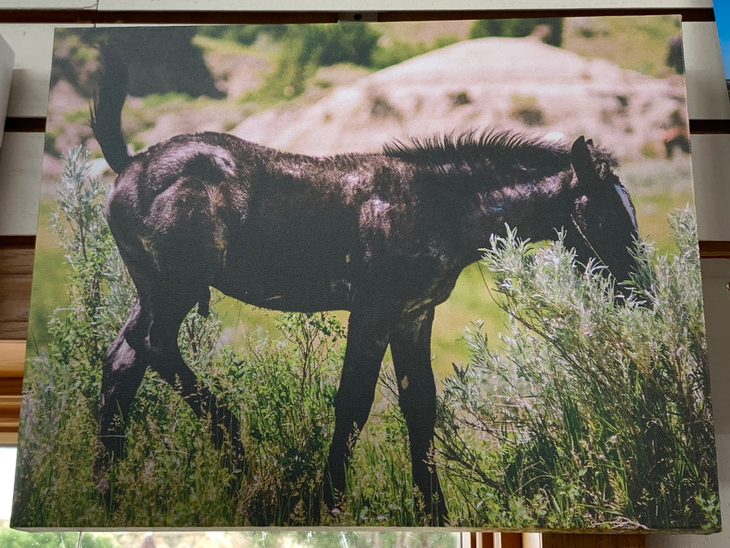 Local Artist Nick Roquet Colt 11x14 canvas print
