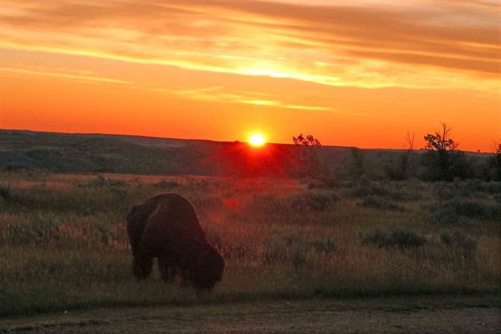 Bison at Sunrise Print