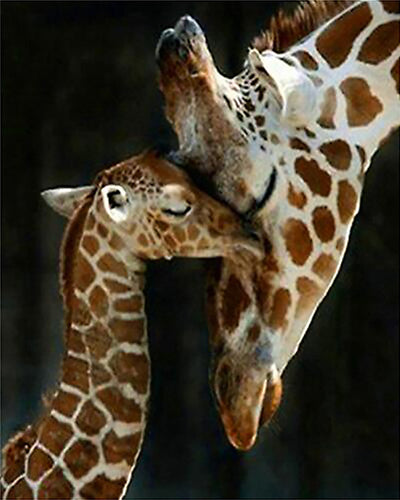 Giraffe Love 5D Diamond Painting