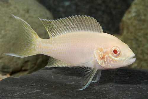 Lamp Brichardi Albino