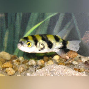 Puffer - Bumblebee (Amazon)