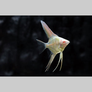 Albino Angelfish (M)