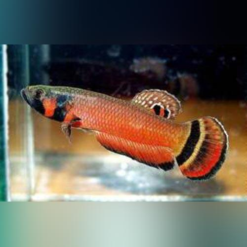 Betta Macrostoma - Pair
